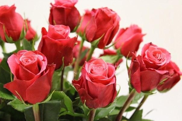 Как выбирать розы и как и продлить им жизнь?