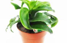 Драцена — отличное растение для офиса